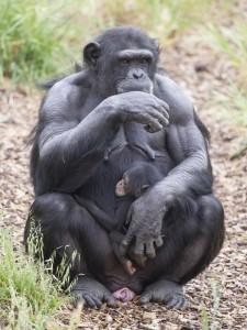 ChimpanzeeInfantOctober2015-3