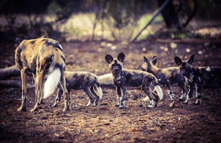 African Wild Dog Pups April 2016