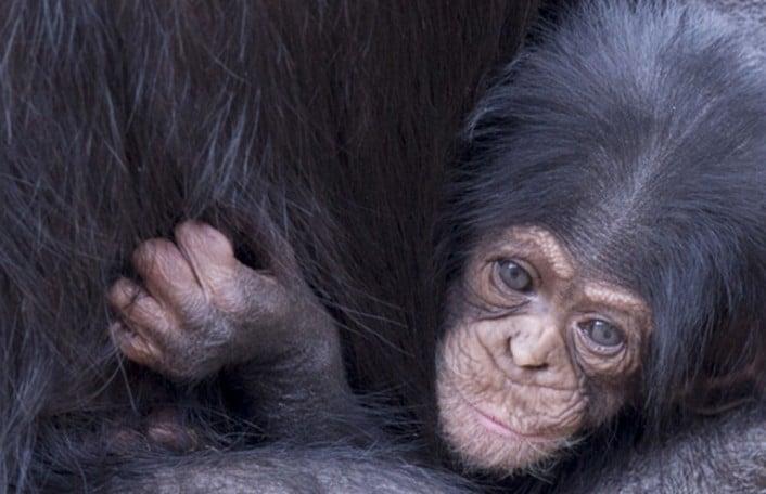 ChimpanzeeInfant-Zombi