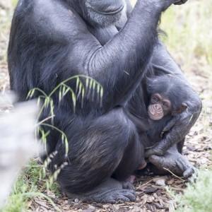 ChimpanzeeInfantOctober2015-2