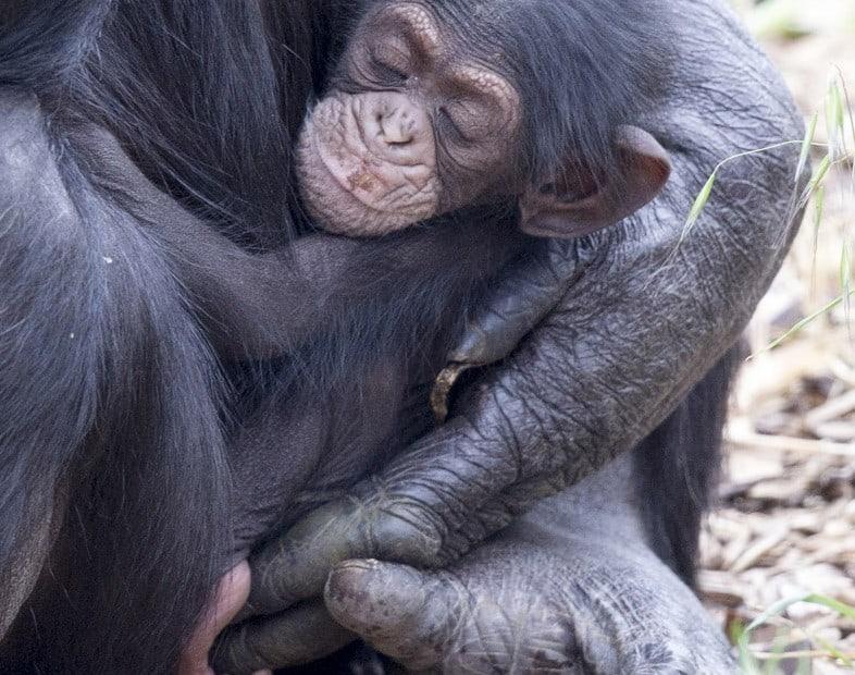ChimpanzeeInfantOctober2015
