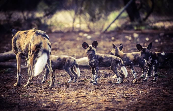 African Wild Dog Pups April 2016