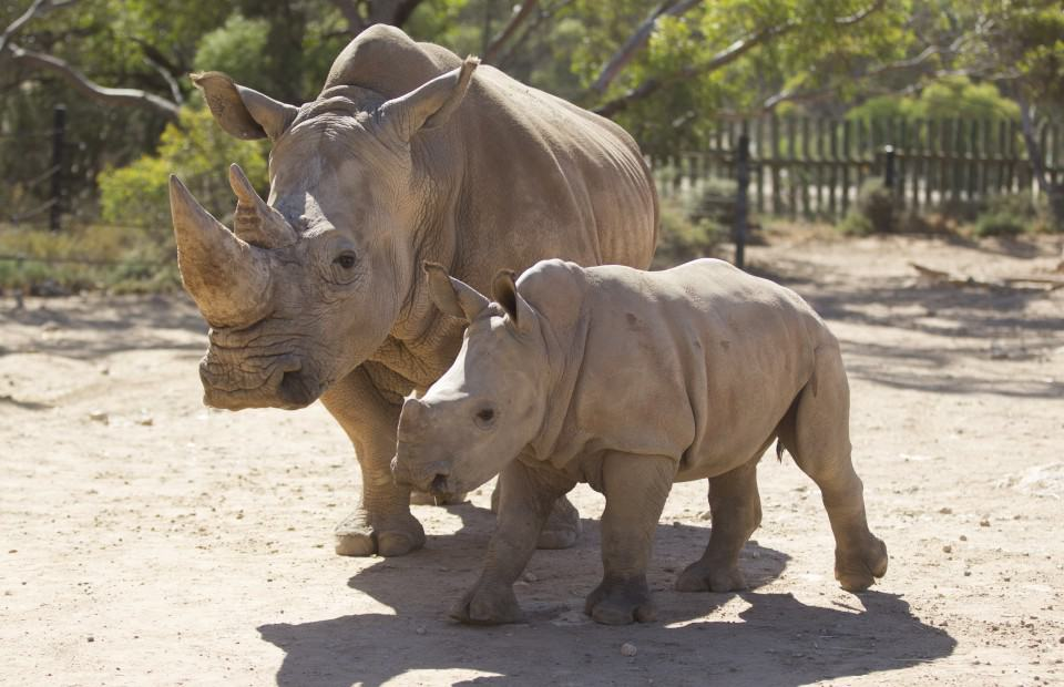Monarto Zoo helping to save endangered rhinos from