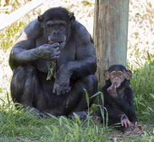 chimps-mom-enzi-1-6th-october-2016