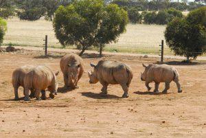 rhino-intros