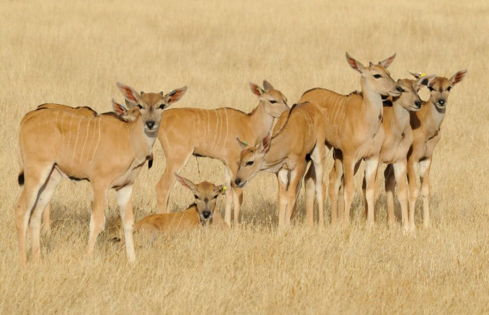 eland-credit-geoff-brooks-zoos-sa