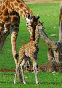 Monarto Zoo welcomes two adorable giraffe calves in two weeks! - photo#31