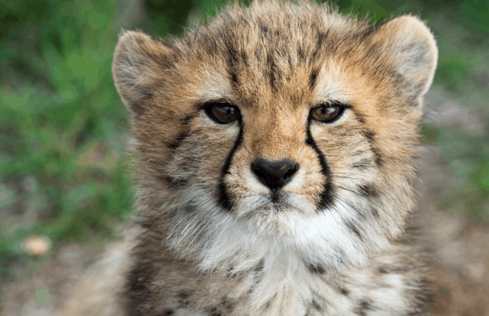Monarto Zoo's Five Adorable Cheetah Cubs Have Been Named!