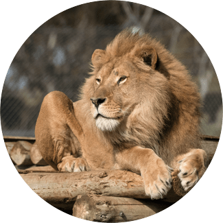By taking the walk of the brave and entering the lions' den, you are helping us save lions from extinction in the wild.