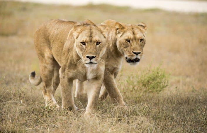 Monarto Zoo lionesses Lions 360