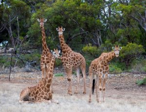 Some of Monarto Zoo's female giraffes.