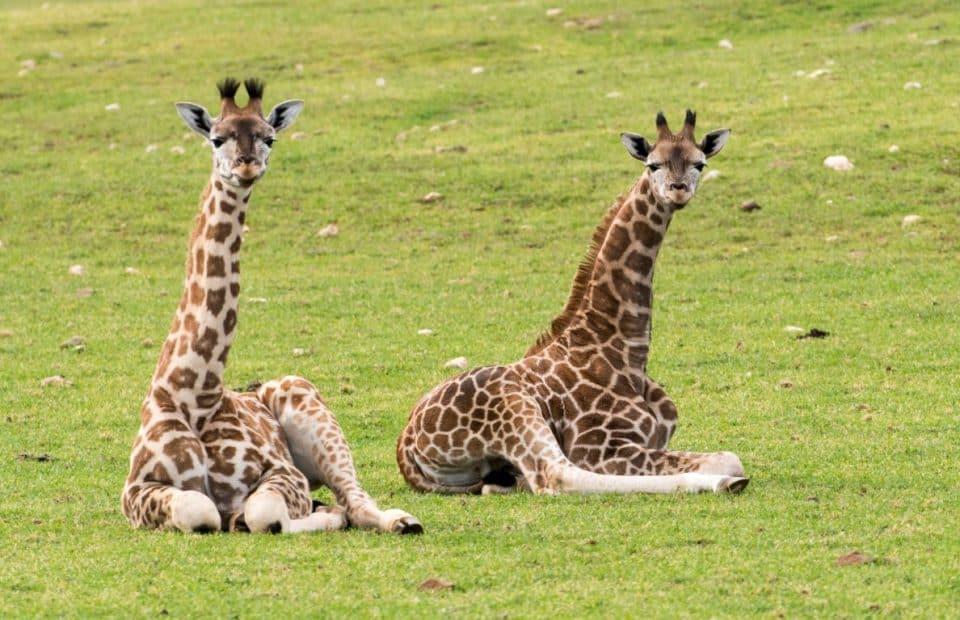 Giraffe calves at Monarto Zoo