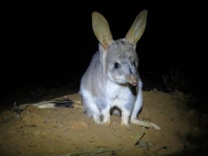 Released bilby at Mt Gibson Wildlife Sanctuar