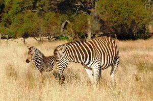 Zebra foal with mum