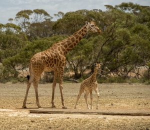 Five Things You Probably Didn T Know About Giraffe Births