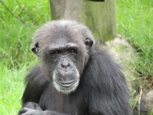 Monarto Zoo new chimps