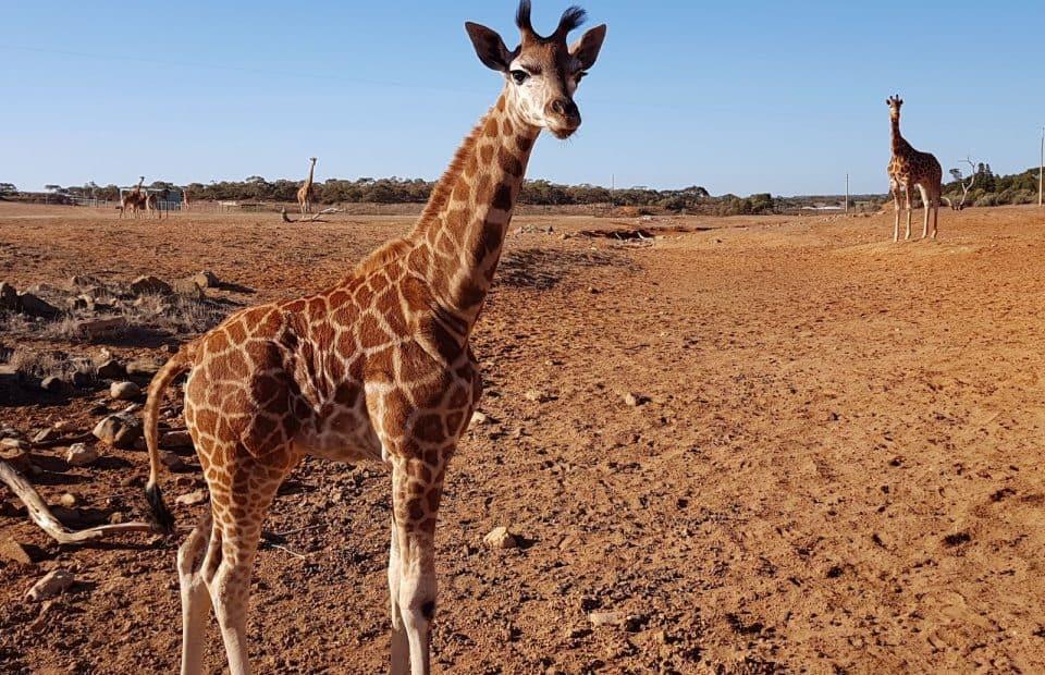 Hand raised giraffe Monarto Zoo