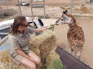 Hand raised giraffe calf feed