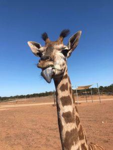 Hand raised giraffe calf Monarto Zoo