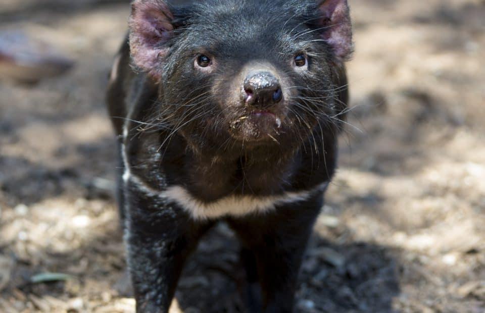 Tasmanian Devil Monarto Zoo