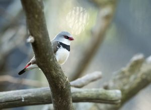 Monarto Zoo diamond firetail bird