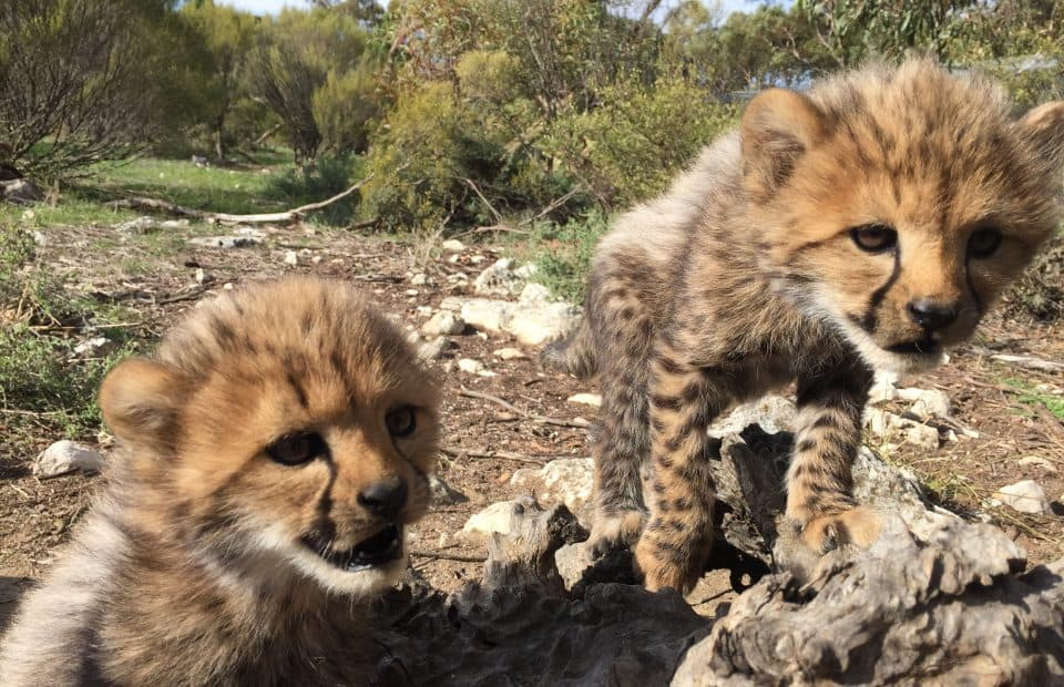Cheetah cub health check