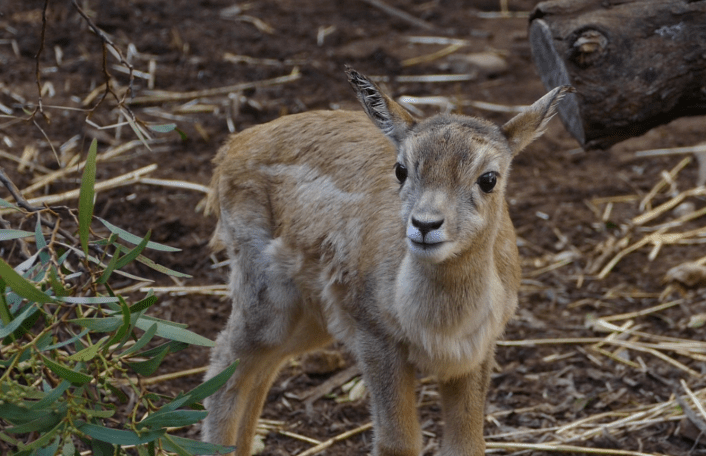 Stan Blackbuck baby Monarto Zoo