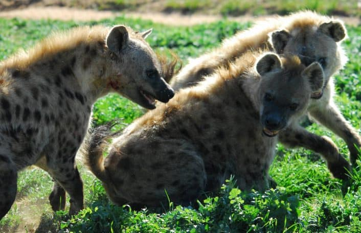 Hyaena clan introduction Monarto Zoo