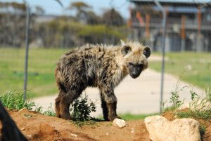 Monarto Zoo hyaenas introduction cub