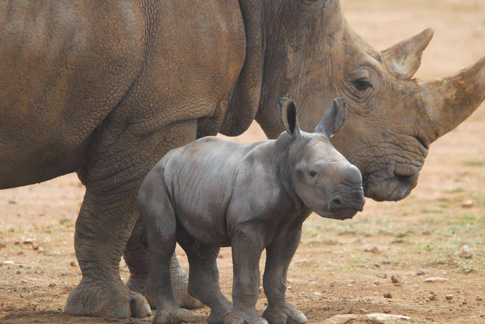 Zoo Animals Group Southern White Rhino c...