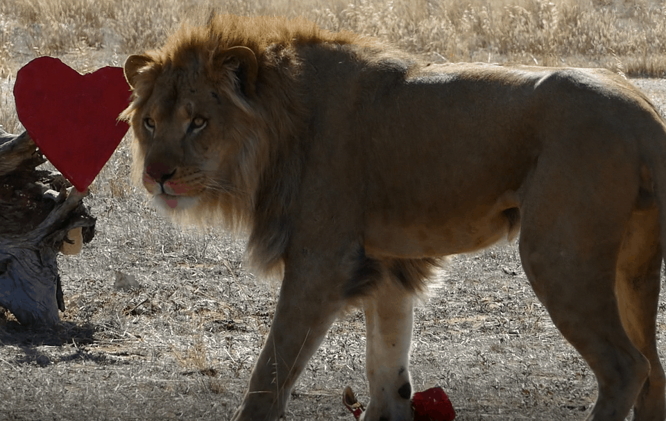Love is in the air for lions at Monarto Zoo - Monarto Zoo