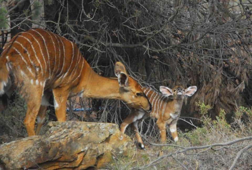 Monarto Zoo Nyala calf