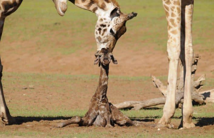 Monarto Zoo giraffe calf