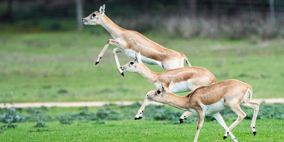 Female Blackbuck leaping.