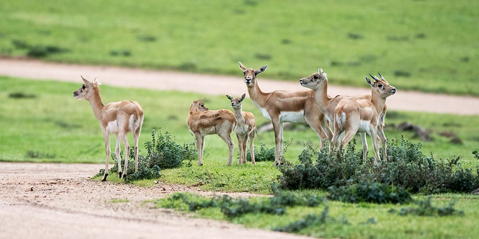 Blackbuck herd with young.