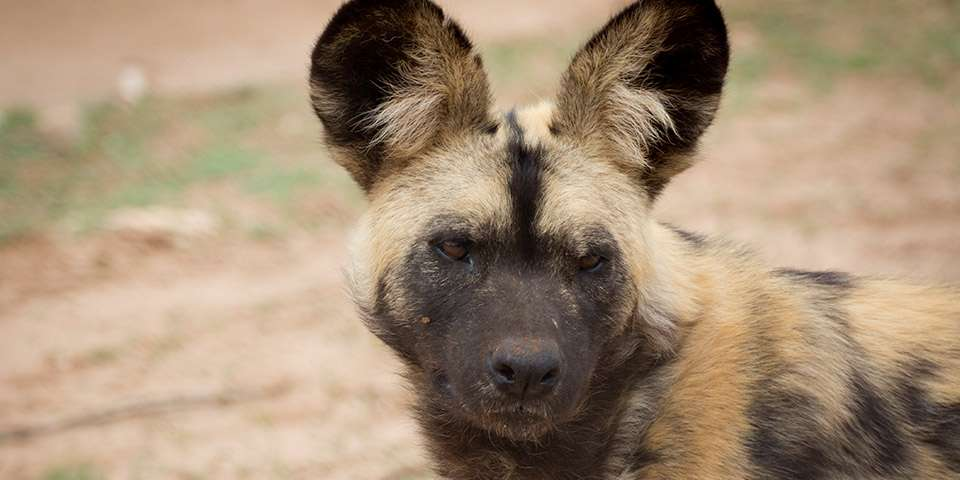 African Painted Dogs Monarto Zoo