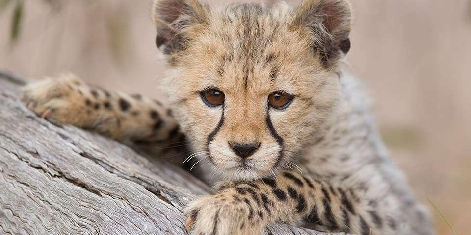 cheetah facts information monarto zoo
