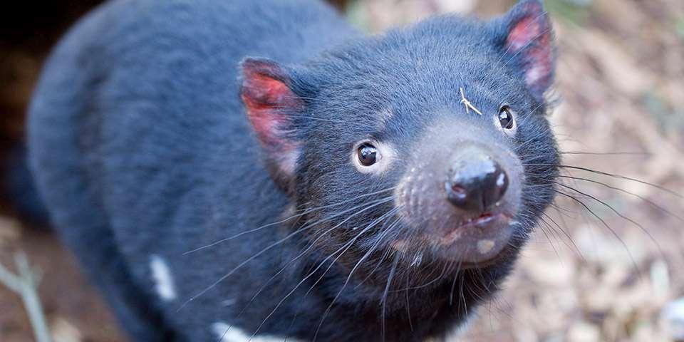 Tasmanian Devil Facts & Information - Monarto Zoo