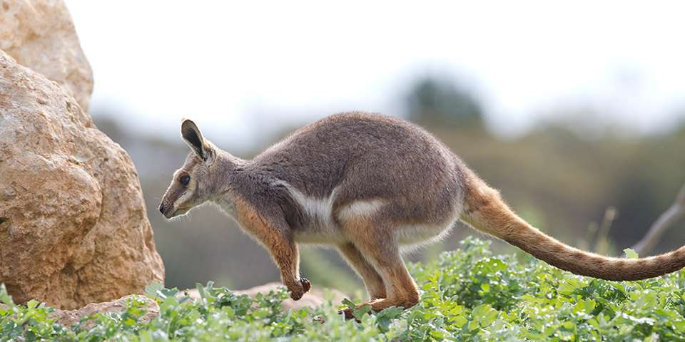 Yellow footed rock wallaby feeding