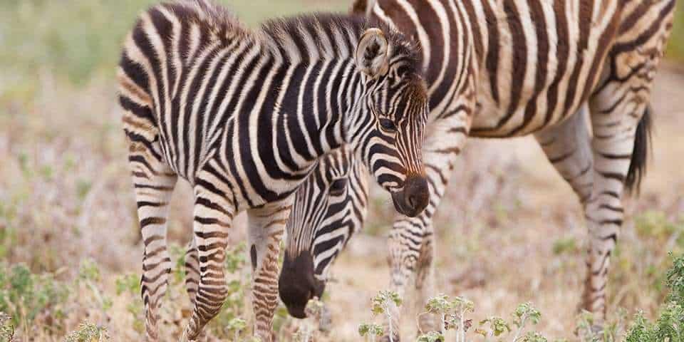 Plains Zebra Facts & Information - Monarto Zoo